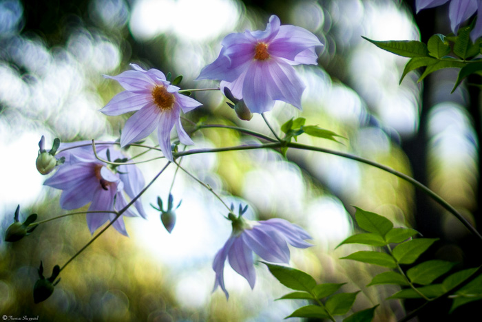 Dreamy photo of purple flowers with swirly bokeh in the background caused by lens aberrations