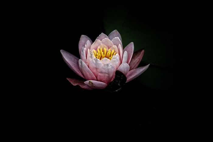 Atmospheric photo of a pink flower against a black background - fine art photography mistakes