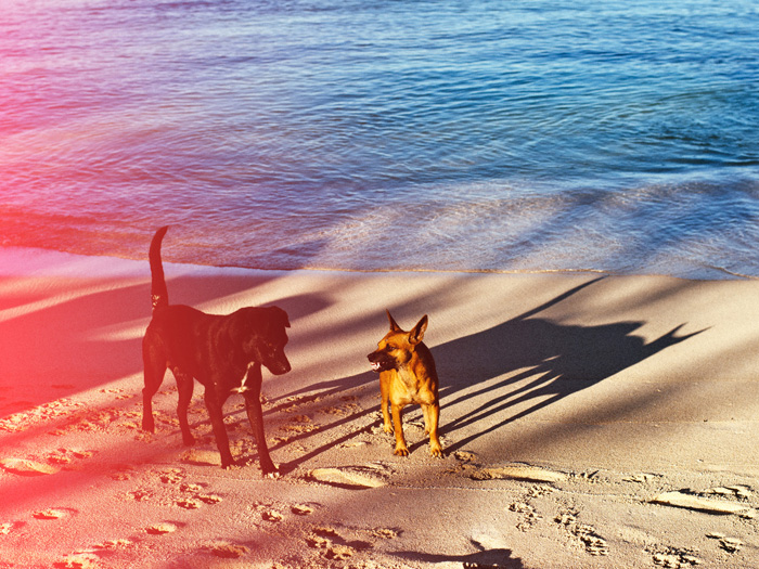 A pet portrait of two dogs on the beach with creative light leaks
