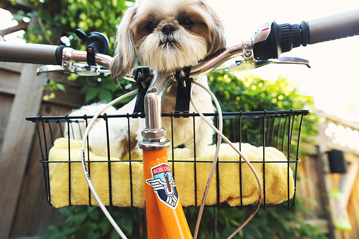 Humorous pet portrait of a cute dog resting in a bicycle basket - smartphone pet photography tips