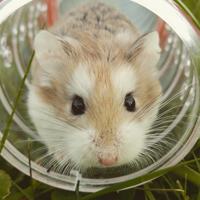 A close up of a gerbil in a plastic ball - smartphone photos of pets