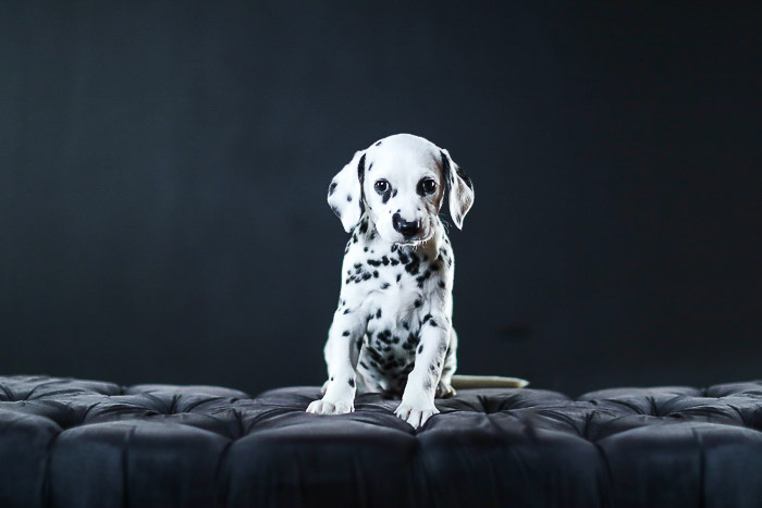 Adorable studio pet portrait of a dalmation puppy against a black background - photography studio lights