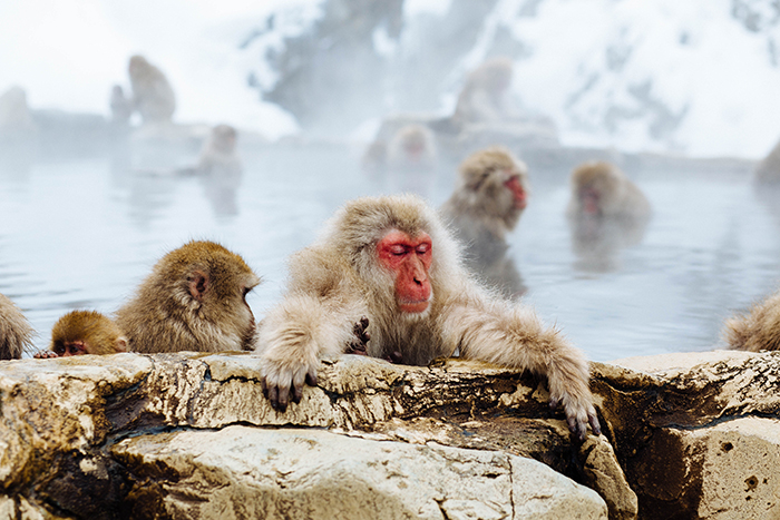 Charming Photo of Monkeys in Jigokudani Monkey Park - cool pictures of japan