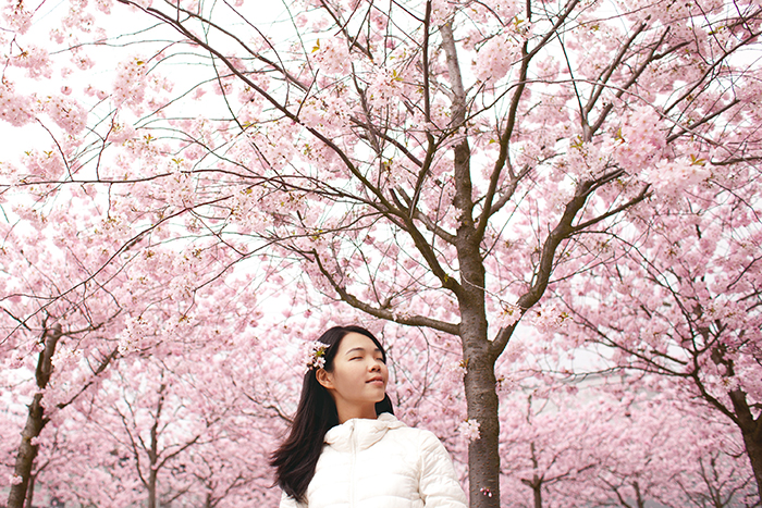A dreamy portrait of a Japanese girl posing under pink Sakura cherry blossoms