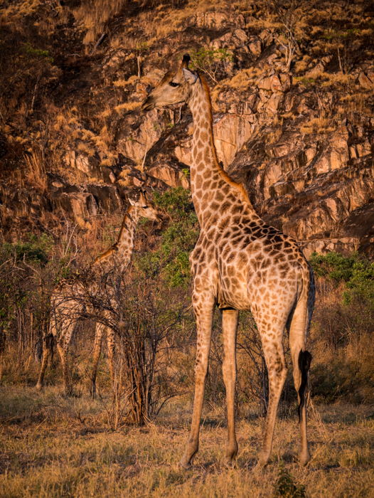Wildlife portrait of two giraffes looking surprisingly camouflaged against the sunlit rocks in Chobe National Park, Botswana.