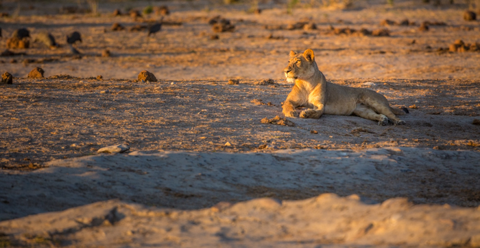 A stunning portrait of a lioness resting - safari photography tips
