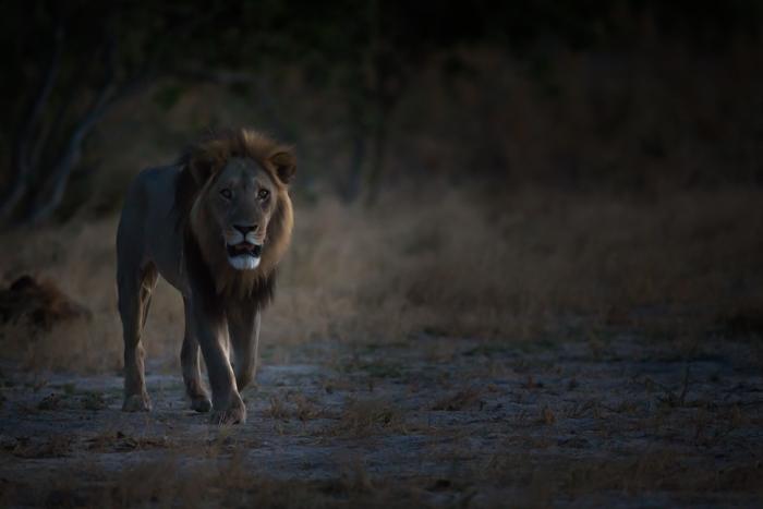 Atmospheric wildlife image of a lion walking towards the camera - safari photography tips