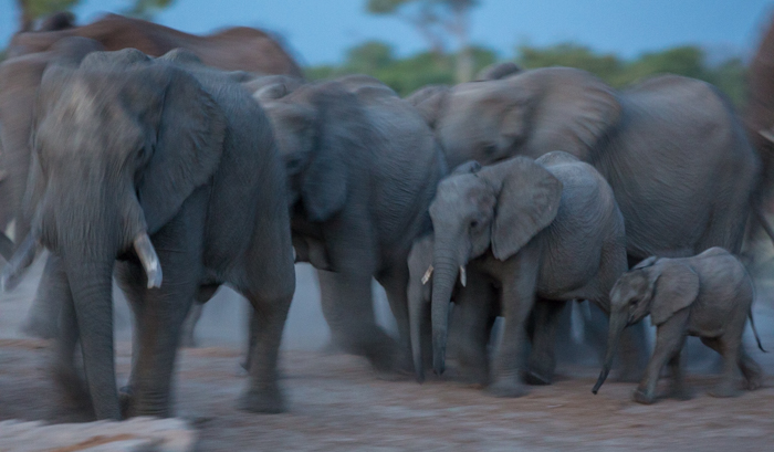 a herd of elephants, protecting their young calves, moving into the water hole - safari pictures