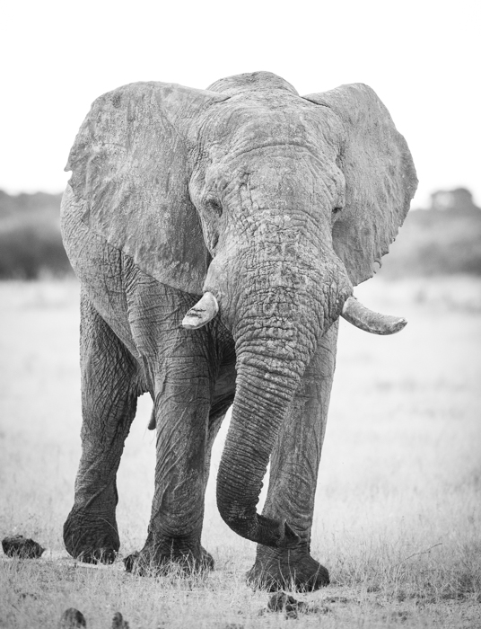 Atmospheric wildlife image of a big male elephant in Botswana - safari photography tips