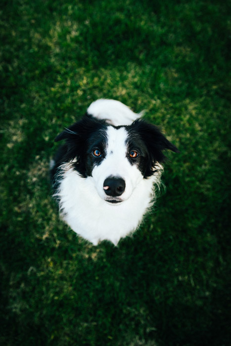 A portrait of a collie dog shot using remote triggers - off camera flash
