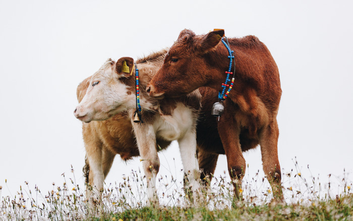 Two brown and white cows shot with a zoom lens