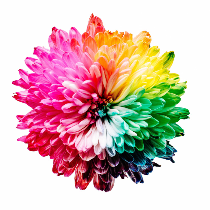 A stunning multicolored flower demonstrating complementary Colors Examples
