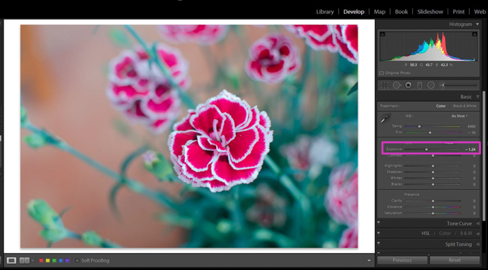 A screenshot of bringing down an overexposed pictured of a pink flower in Lightroom