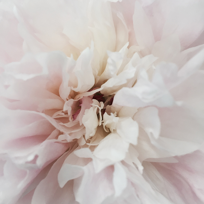 Abstract shot of the centre of a white and pink flower