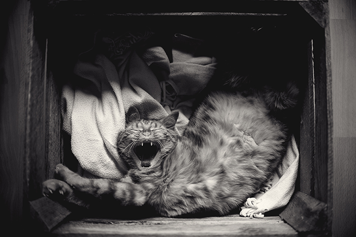 funny photo of a yawning cat - cute animal photos