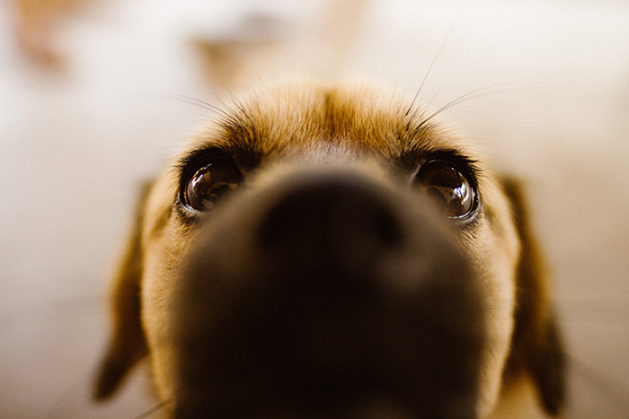 Adorable close up of a Labrador puppy - cool animal photography examples