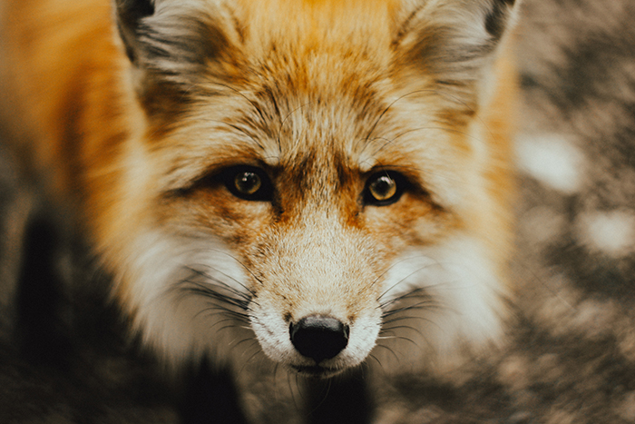Atmospheric wildlife portrait of a fox - cool animal photography examples