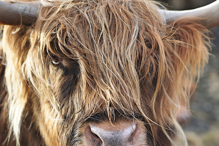 Atmospheric wildlife portrait of a highland cow - cool animal photography examples