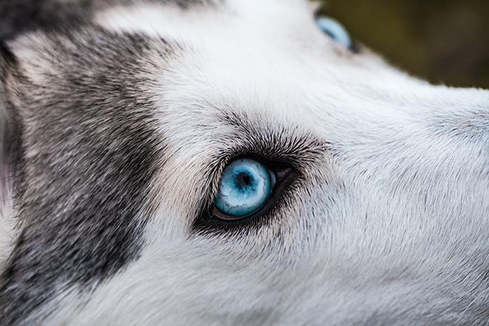 A close up of a blue eyed husky