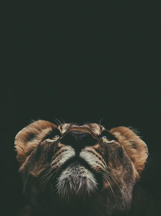 Atmospheric portrait of a lion against black background