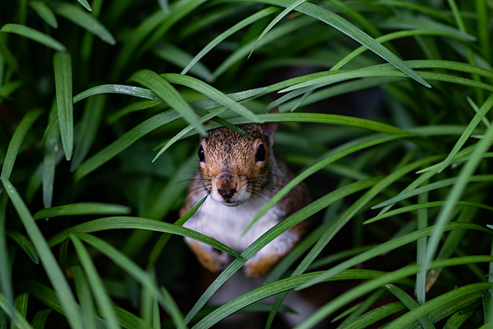 A close up wildlife shot of a squirrel hiding among grass - animal photography examples
