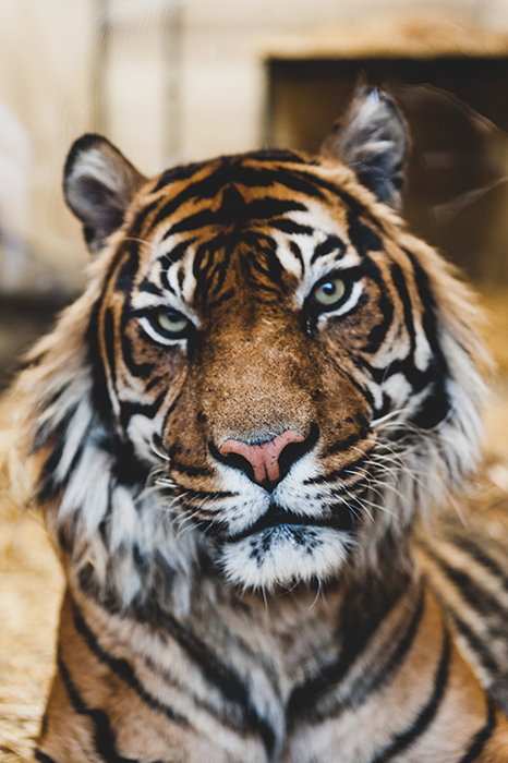 Atmospheric close up photo of a tiger with focus on its eyes - cool animal photography examples