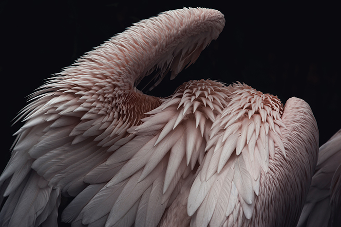 An abstract photo of pink pelican feathers - form in photography