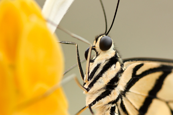 A close up photo of a butterfly on a flower shot using selective focus