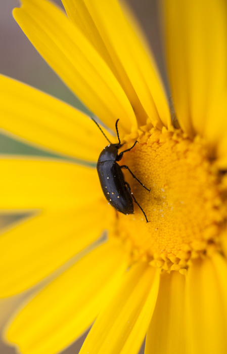 A close up of a black beetle on a yellow flower shot using selective focus
