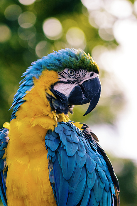 Stunning portarit of a blue and yellow macaw parrot - using vibrant colors in photography