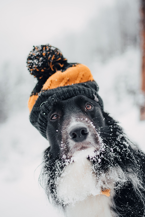Adorable portrait of a border collie in the snow - winter photography ideas
