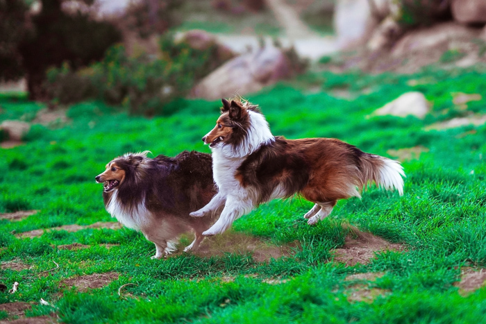 Adorable pet photo of two collie dogs running through nature - dog photography tips
