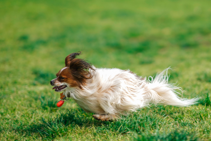 Cool pet photography action shot of a cute brown and white dog running through grass