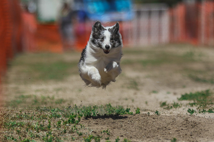 Cool dog photography action shot of a black and white dog running during an agility event