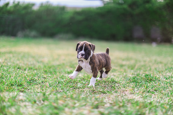 Cute dog photography action shot of a brown and white puppy walking on grass
