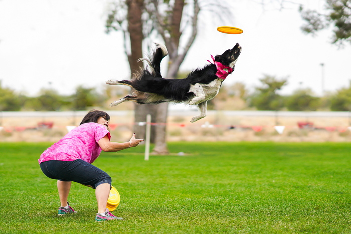 Cool pet photography action shot of a collie dog jumping for a frisbee being thrown by its owner