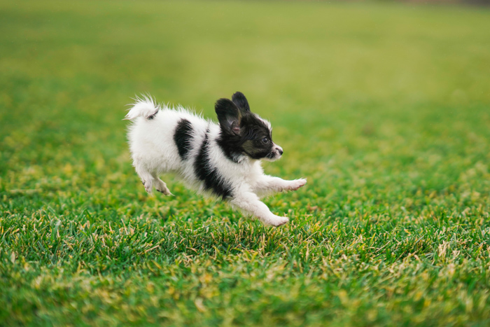 Adorable pet photography action shot of a black and white puppy jumping on grass