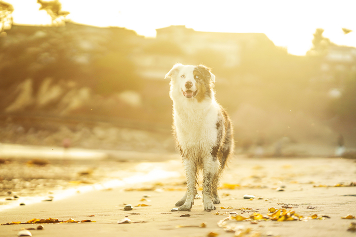 Cute pet portrait of a black and white dog standing on a beach during golden hour