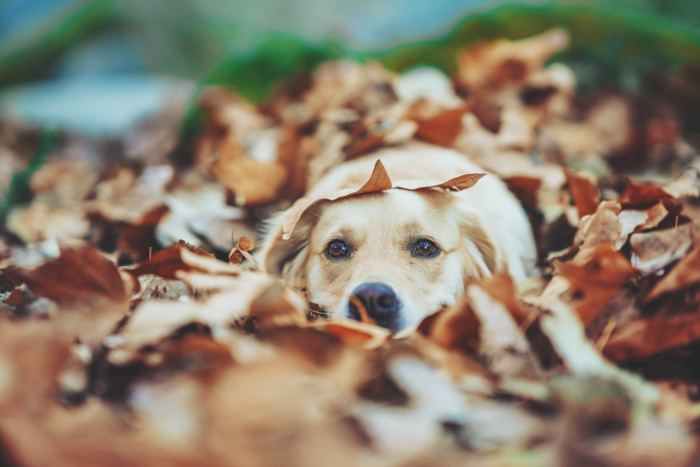 Cute pet portrait of a Labrador dog lying among autumn leaves - exposure settings for pet photography