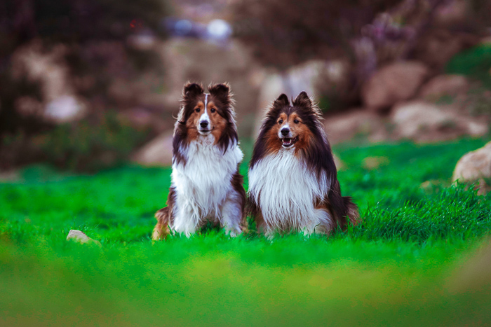 Cute pet portrait of two sheltie dogs sitting on grass - exposure settings for pet photography