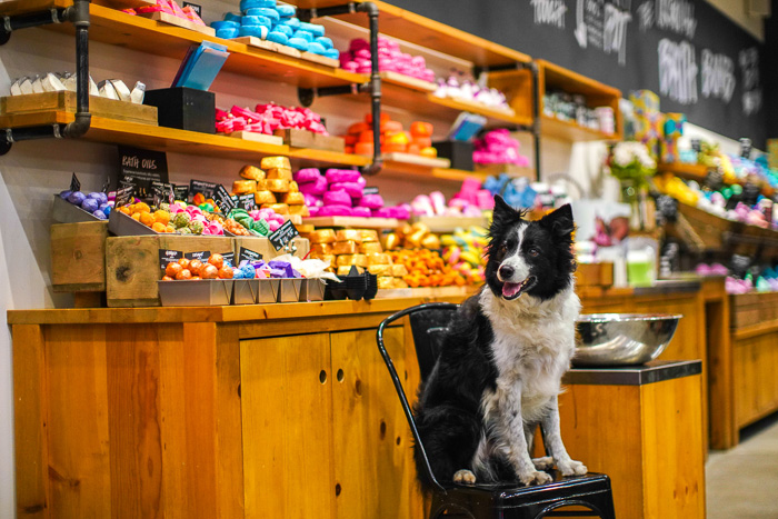 Cute pet portrait of a collie dog sitting on a chair in a store