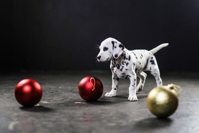 Cute pet portrait of a Dalmatian puppy playing with Christmas decorations