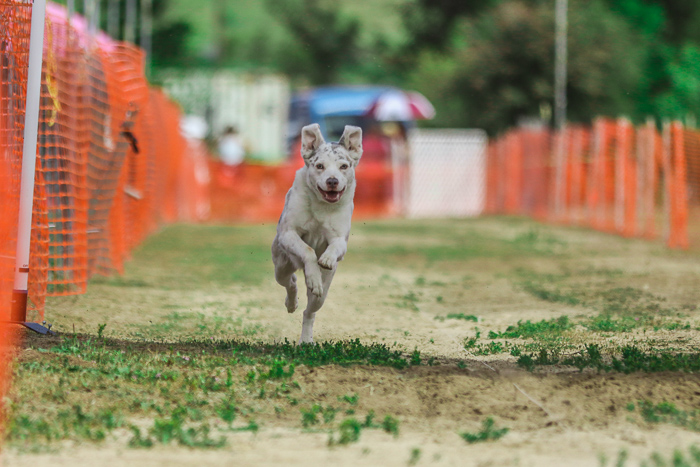 Action pet portrait of a dog running at an agility competition - exposure settings for pet photography