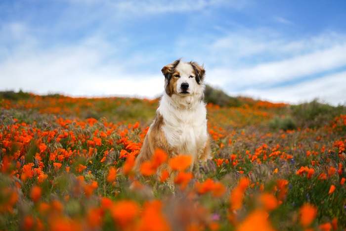 Cute pet portrait of a brown and white dog sitting in a field of orange flowers - exposure settings for pet photography