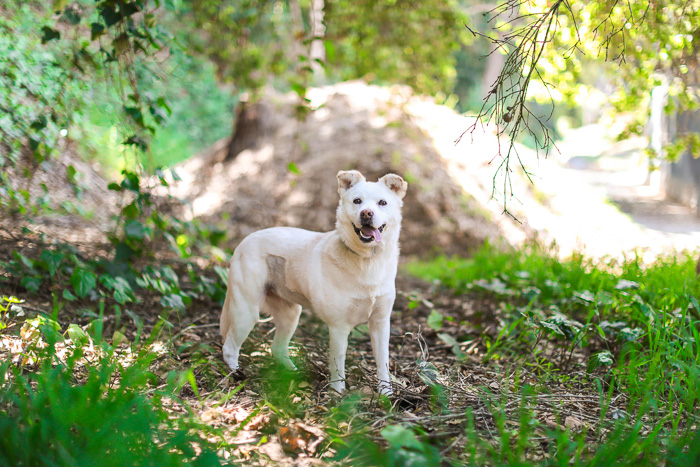 Cute pet portrait of a white dog standing in a forest
