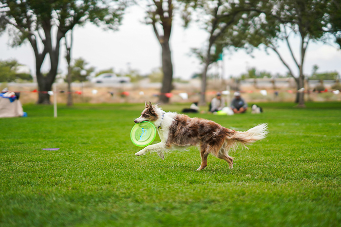 Acton shot of a dog running with a frisbee outdoors - pet photography exposure settings