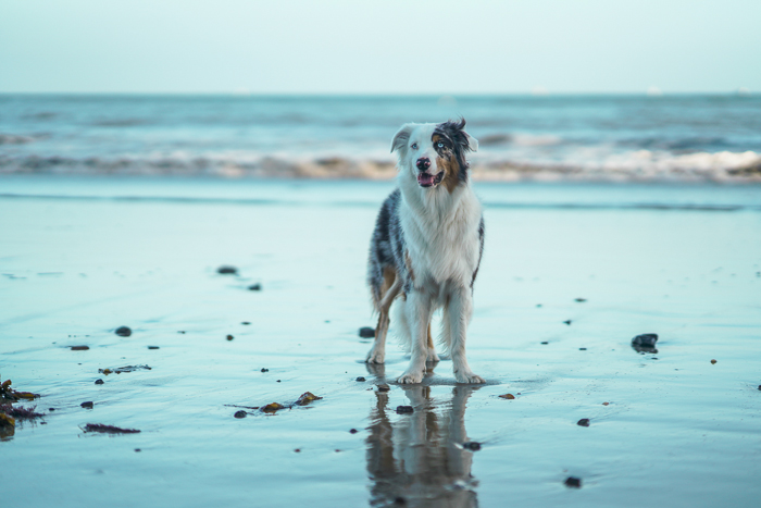 Cute pet portrait of a black and white dog standing on a beach at evening