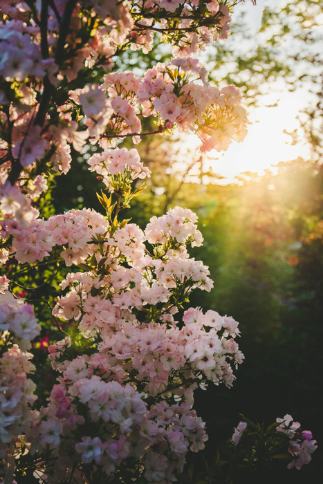 Cherry blossoms in a beautiful garden