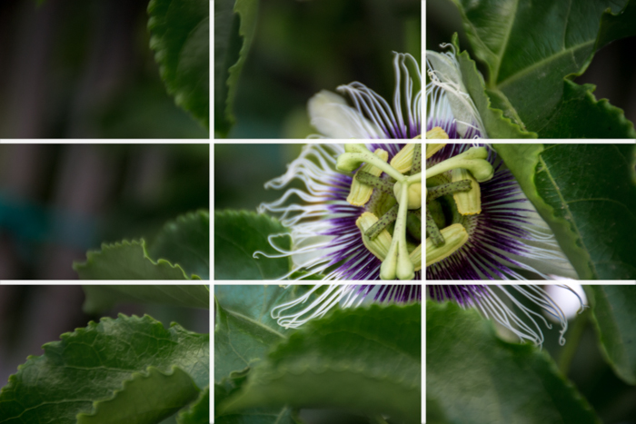 A close up of a beautiful white and purple flower in a garden with the rule of thirds grid overlayed