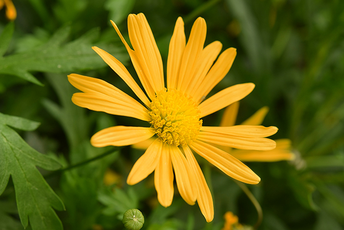 A close up of a yellow flower among grass - an example of analogous colors in nature